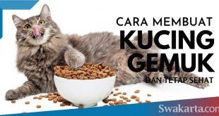 cara membuat kucing gemuk